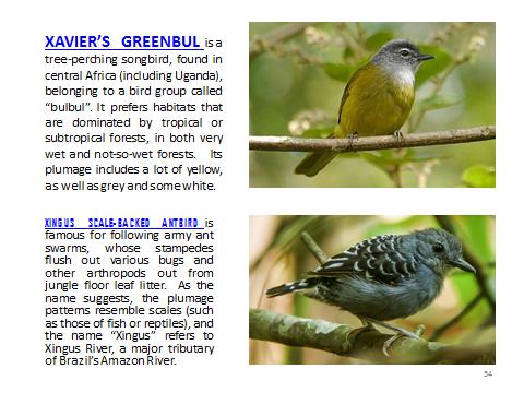 BAW-XavierGreenbul-XingusScalebackedAntbird