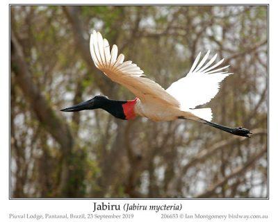 Jabiru (Jabiru mycteria) by Ian