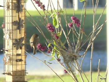 Eastern Phoebe on Beautyberry