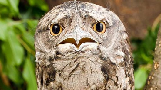 Frogmouth-tawny