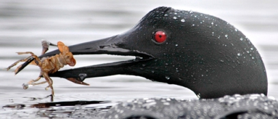 Loon-with-crayfish.USFWS