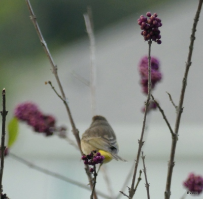 Palm Warbler on Beautyberry