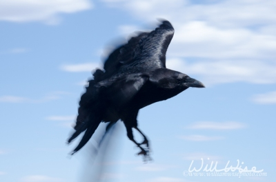 Raven; Grand Canyon National Park, by William Wise