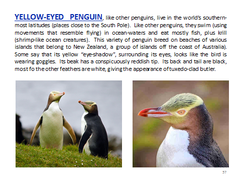 BAW-YelloweyedPenguin
