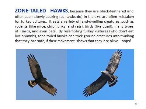 BAW-ZonetailedHawk