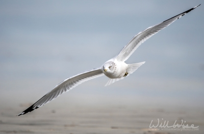 CHA-Lai Flying Ring-billed Gull; Hilton Head Island, South Carolina, USA by William Wise Photo