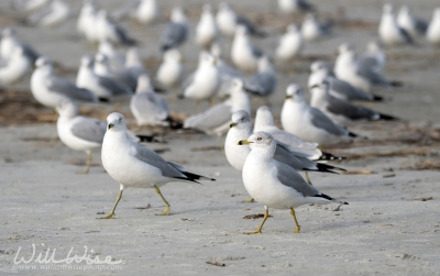 CHA-Lai Ring-billed Gulls; Hilton Head Island, South Carolina, USA by William Wise Photo