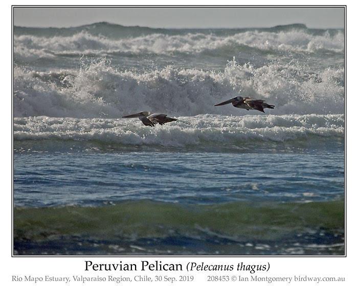 PEL-Pele Peruvian Pelican (Pelecanus thagus) by Ian
