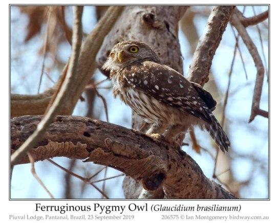 STI-Strg Ferruginous Pygmy Owl (Glaucidium brasilianum) by Ian