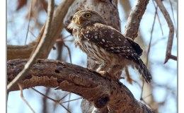 Ian's Bird of the Moment – Great Horned and Ferruginous PygmyOwls