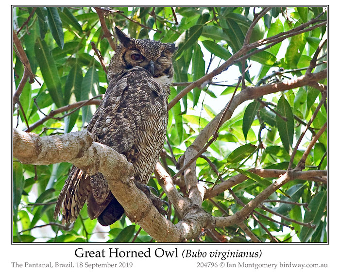 STI-Strg Great Horned Owl by Ian