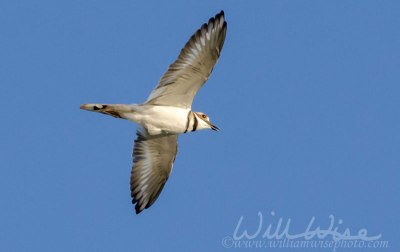 Killdeer plover bird flying
