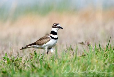 Killdeer plover bird