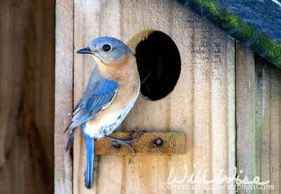 Eastern Bluebird at Nest Box