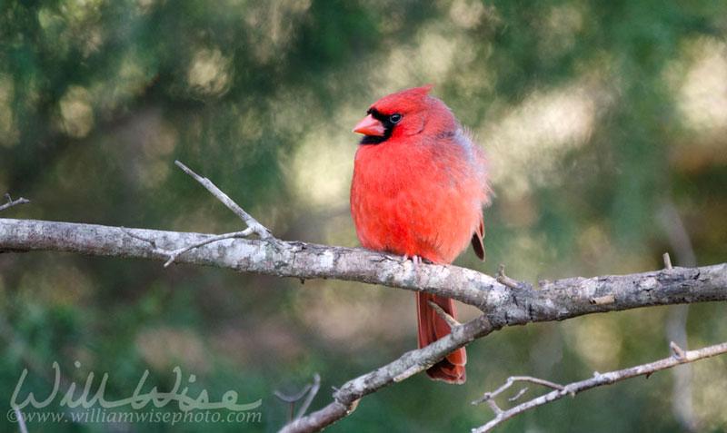 Red Northern Cardinal Bird