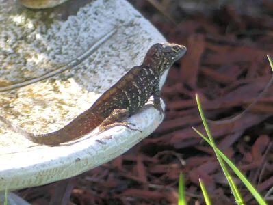 Baby Dinosaur - Chamilian or Lizard by Lee 3-28-20