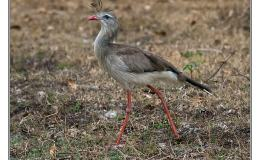 Bird of the Moment – Red-legged Seriema