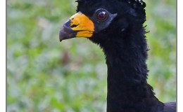 Ian's Bird of the Whatever – Bare-faced Curassow