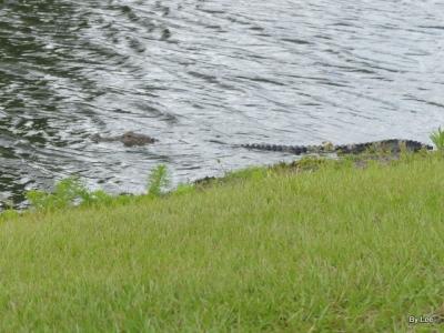 Alligator Taken from my neighbor's yard. 05-16-20