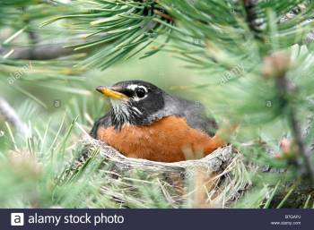 American Robin on Nest ©Alarmy