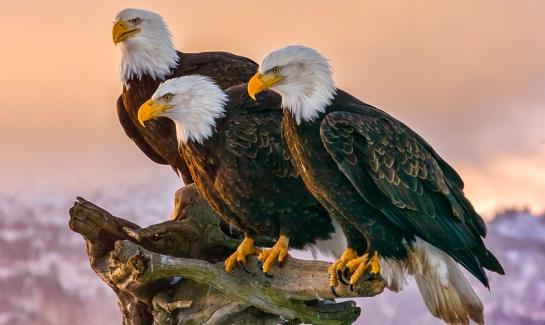 BaldEagles-BirdWatchingHQ