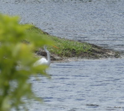 Great White Egret - First bird spotted from bench 05-14-20