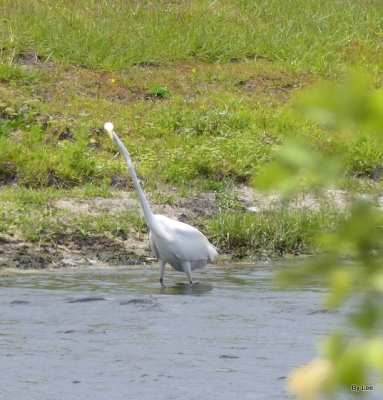 Great White Egret finally in the clear 05-14-20
