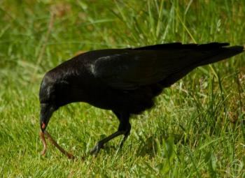 Crow Getting Worm ©PxHere