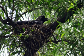Crow in Nest ©NeedPix