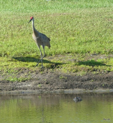Gator and Sandhill Cranes 05-20-20 by Lee