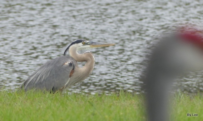 Great Blue Heron with neck bent in S
