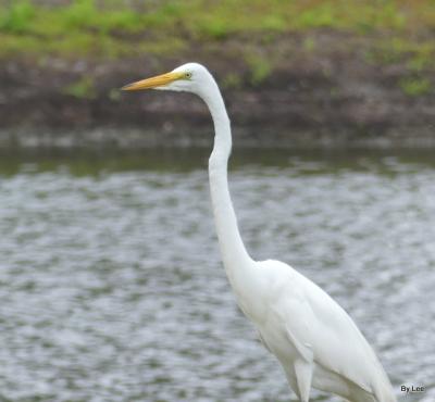 Great Egret 5-16-20