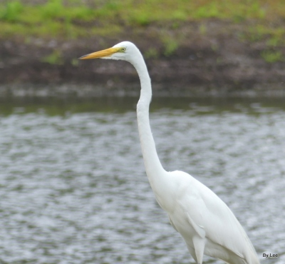 Great Egret 5-16-20