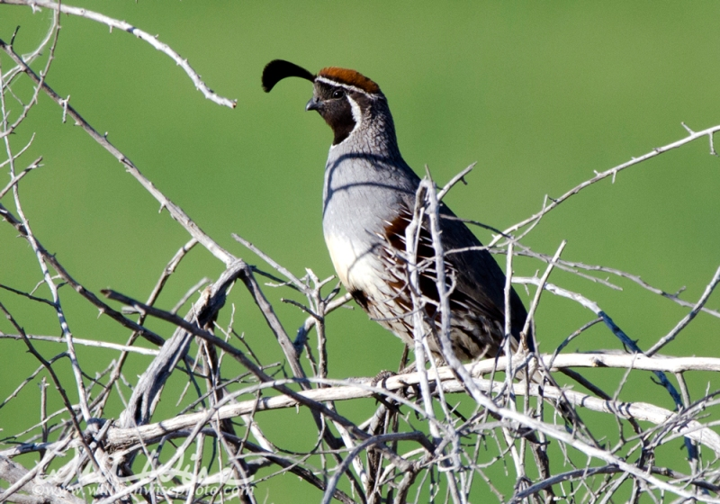 Gambel's Quail, Sweetwater Wetlands, Tucson Arizona