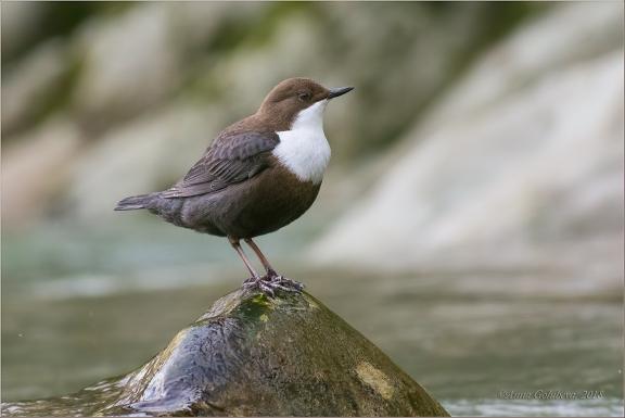 European-Dipper.Birds-of-European-Russia