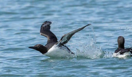 Common-Murre-liftoff-from-sea.TkiJoe-photo