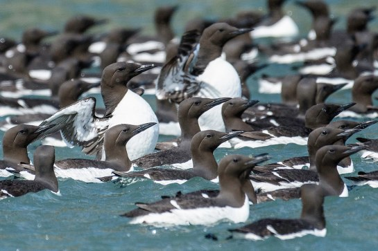 Common-Murre-raft-Alaska.TikiJoe-photo
