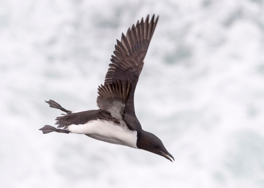 CommonMurre-aloft-Alaska.TomIngram-photo