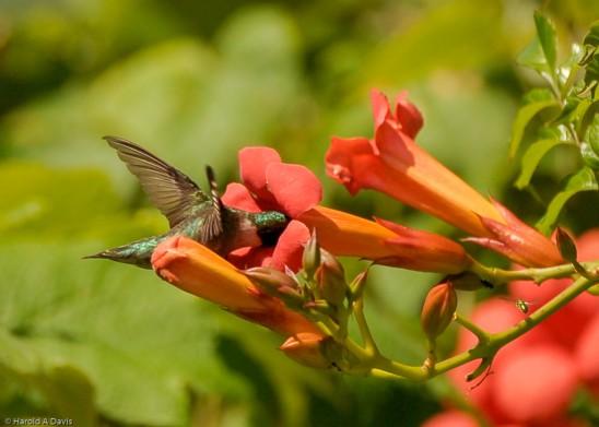 Hummingbird-TrumpetVine-HaroldADavis