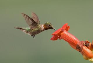 hummingbird-trumpetvine.HaroldADavis