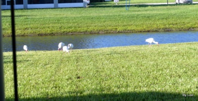 White Ibis checking out our yard.