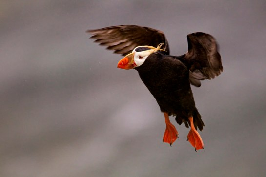 Puffin-sailing-aloft-Alaska.PeterStahl-photo