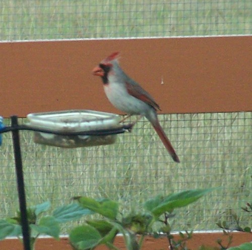 Pyrrhuloxia-Cardinal-hybrid.JanetJohnson-BrenhamTX