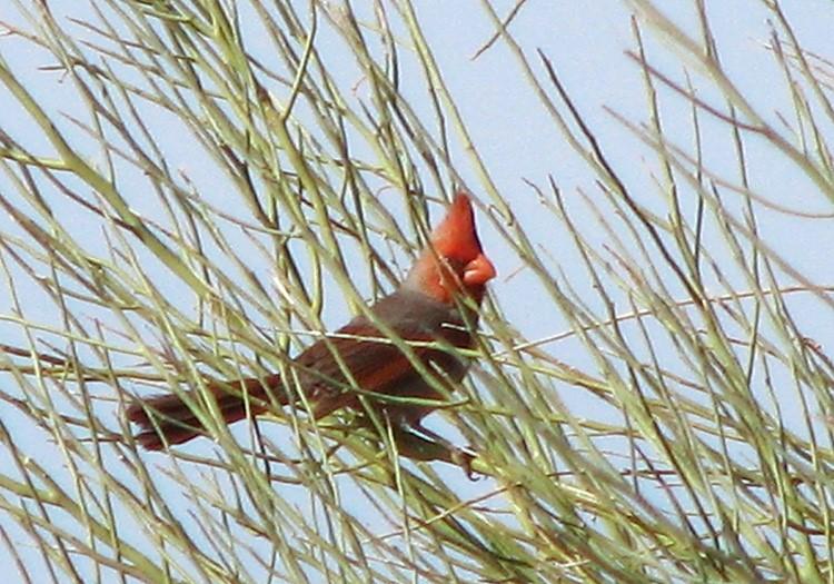 Pyrrhuloxia-Cardinal-hybrid.TroyCorman-photo