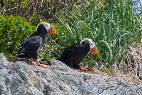 Tufted-Puffins-Alaska.TimMelling-photo