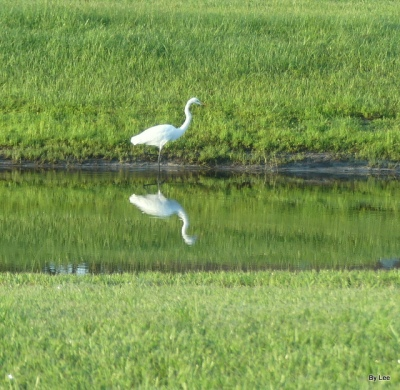 Great Egret Reflecting off the pond by Lee