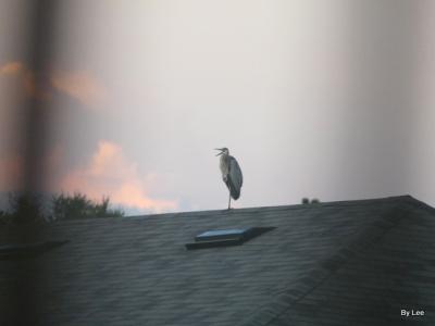 Great Blue Heron of Housetop by Lee