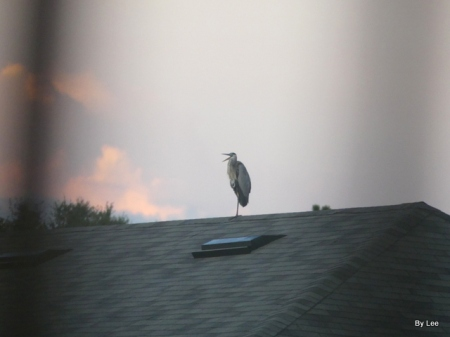 Great Blue Heron of Housetop by Lee