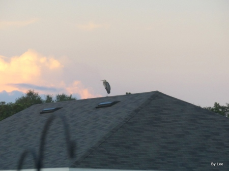 Great Blue Heron on Housetop by Lee