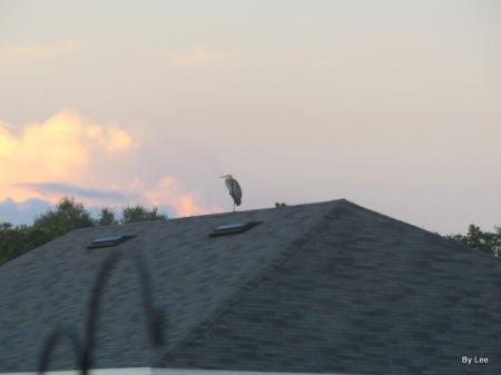 Great Blue Heron on Housetop by Lee